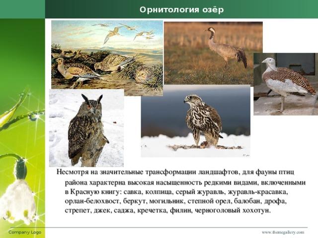 Орнитология озёр  Несмотря на значительные трансформации ландшафтов, для фауны птиц района характерна высокая насыщенность редкими видами, включенными в Красную книгу: савка, колпица, серый журавль, журавль-красавка, орлан-белохвост, беркут, могильник, степной орел, балобан, дрофа, стрепет, джек, саджа, кречетка, филин, черноголовый хохотун. www.themegallery.com Company Logo