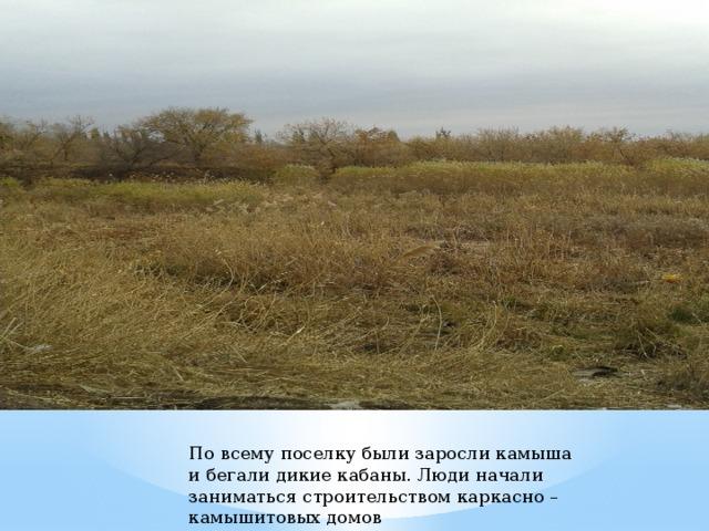 По всему поселку были заросли камыша и бегали дикие кабаны. Люди начали заниматься строительством каркасно – камышитовых домов