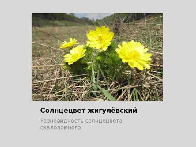 Солнцецвет жигулёвский Разновидность солнцецвета скалоломного