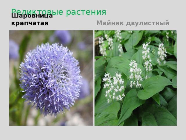 Реликтовые растения Шаровница крапчатая Майник двулистный