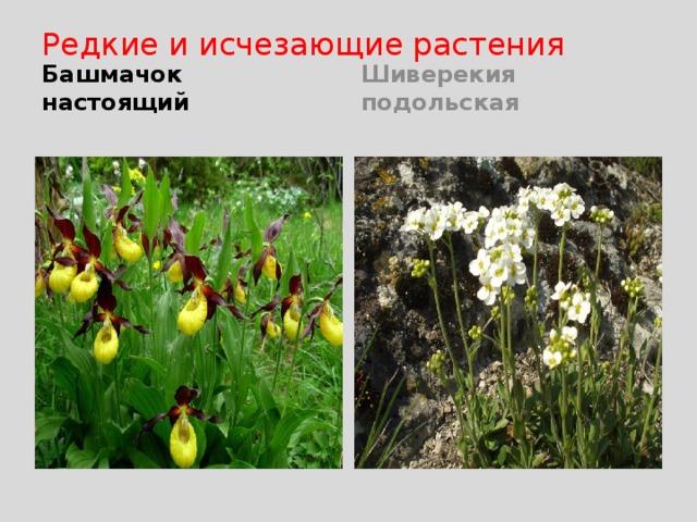 Редкие и исчезающие растения Башмачок настоящий Шиверекия подольская