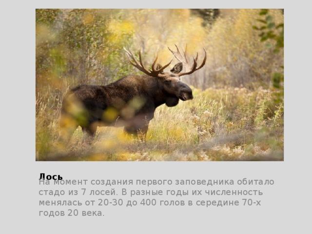 Лось На момент создания первого заповедника обитало стадо из 7 лосей. В разные годы их численность менялась от 20-30 до 400 голов в середине 70-х годов 20 века.