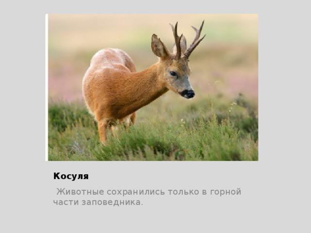 Косуля  Животные сохранились только в горной части заповедника.