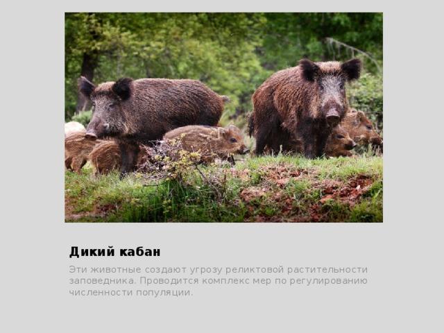 Дикий кабан Эти животные создают угрозу реликтовой растительности заповедника. Проводится комплекс мер по регулированию численности популяции.