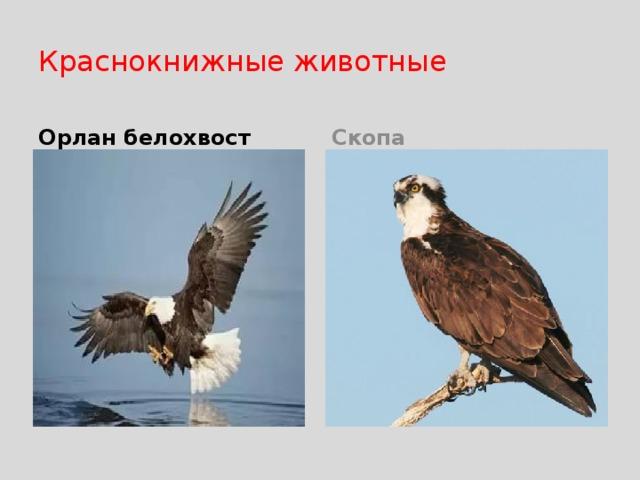 Краснокнижные животные Орлан белохвост Скопа