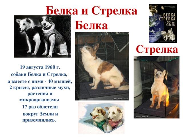 Белка и Стрелка  Белка Стрелка 19 августа 1960 г. собаки Белка и Стрелка, а вместе с ними - 40 мышей, 2 крысы, различные мухи, растения и микроорганизмы 17 раз облетели  вокруг Земли и приземлились.