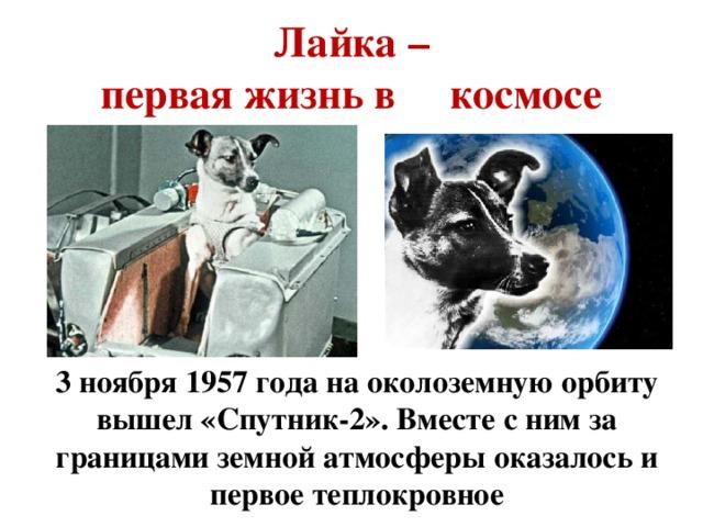 Лайка –  первая жизнь в космосе  3 ноября 1957 года на околоземную орбиту вышел «Спутник-2». Вместе с ним за границами земной атмосферы оказалось и первое теплокровное