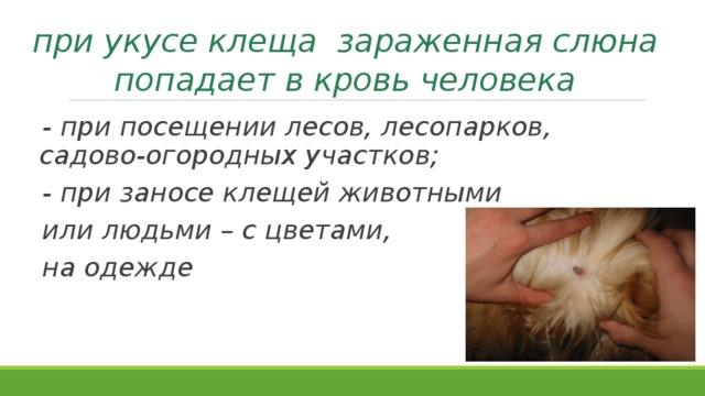 при укусе клеща зараженная слюна попадает в кровь человека - при посещении лесов, лесопарков, садово-огородных участков; - при заносе клещей животными или людьми – с цветами, на одежде