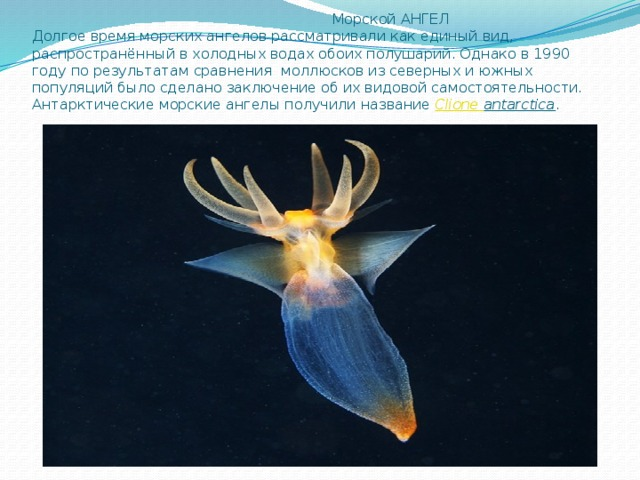 Морской АНГЕЛ  Долгое время морских ангелов рассматривали как единый вид, распространённый в холодных водах обоих полушарий. Однако в 1990 году по результатам сравнения моллюсков из северных и южных популяций было сделано заключение об их видовой самостоятельности. Антарктические морские ангелы получили название Clione  antarctica .