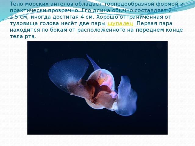Тело морских ангелов обладает торпедообразной формой и практически прозрачно. Его длина обычно составляет 2—2,5 см, иногда достигая 4 см. Хорошо отграниченная от туловища голова несёт две пары щупалец . Первая пара находится по бокам от расположенного на переднем конце тела рта.