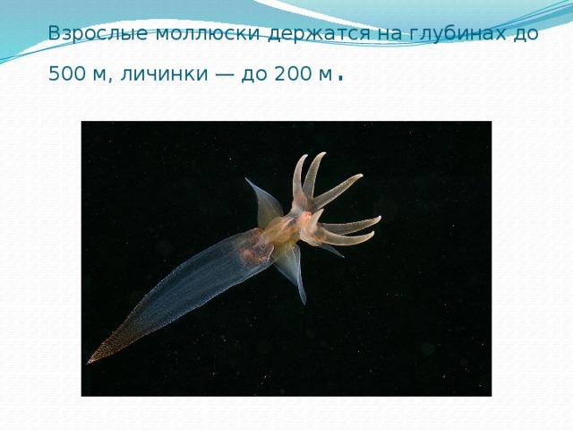 Взрослые моллюски держатся на глубинах до 500м, личинки —до 200м .