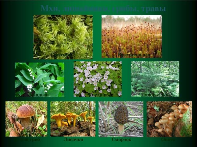 Мхи, лишайники, грибы, травы Сфагнум Кукушкин лен Ландыш Кислица Папоротник Белый гриб Лисички Сморчок Опята