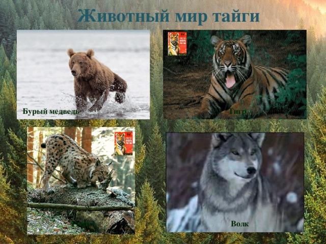 Животный мир тайги  Бурый медведь Тигр Рысь Волк