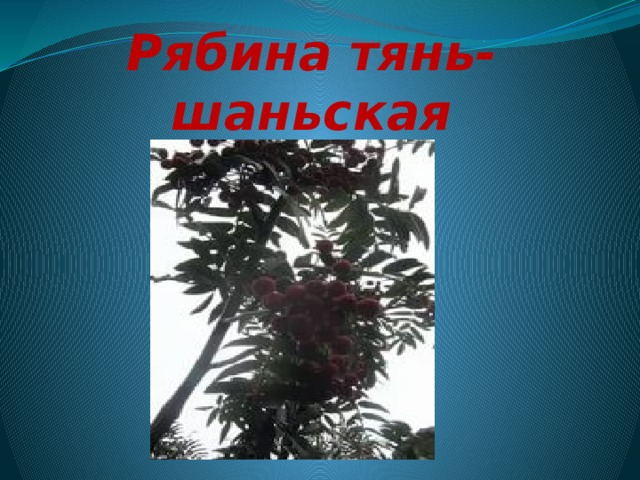 Рябина тянь-шаньская