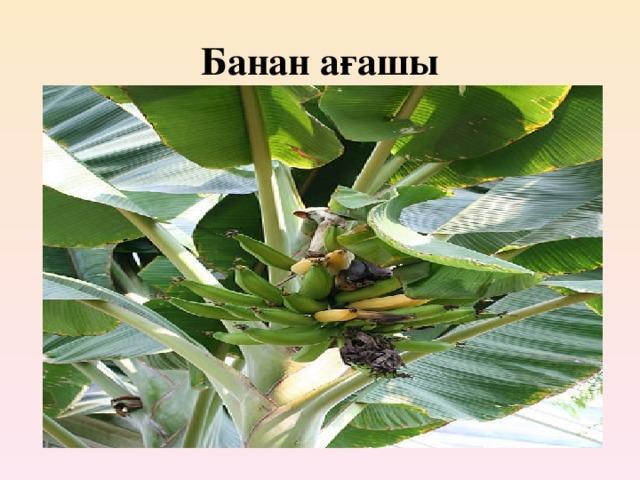 Банан ағашы