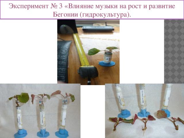 Эксперимент № 3 «Влияние музыки на рост и развитие Бегонии (гидрокультура).