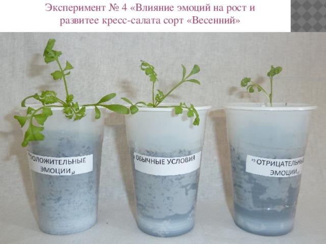 Эксперимент № 4 «Влияние эмоций на рост и развитее кресс-салата сорт «Весенний»