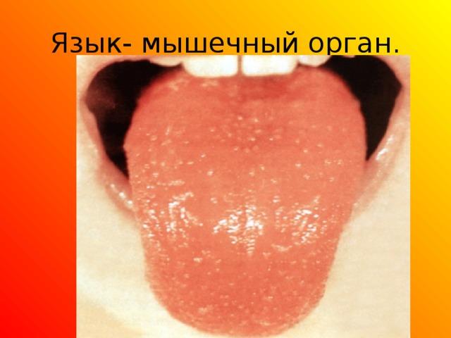 Язык- мышечный орган.