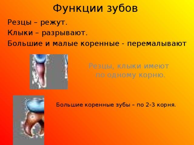 Функции зубов Резцы – режут. Клыки – разрывают. Большие и малые коренные - перемалывают Резцы, клыки имеют по одному корню. Большие коренные зубы – по 2-3 корня.