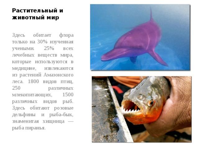 Растительный и животный мир Здесь обитает флора только на 30% изученная учеными. 25% всех лечебных веществ мира, которые используются в медицине, извлекаются из растений Амазонского леса. 1800 видов птиц, 250 различных млекопитающих, 1500 различных видов рыб. Здесь обитают розовые дельфины и рыба-бык, знаменитая хищница — рыба пиранья.