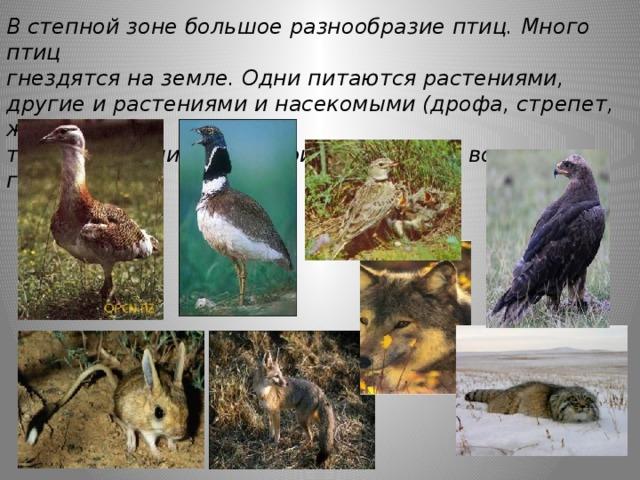 В степной зоне большое разнообразие птиц. Много птиц гнездятся на земле. Одни питаются растениями, другие и растениями и насекомыми (дрофа, стрепет, жаворонок), третьи -хищники (степной орел). Здесь водятся грызуны,  хищники.