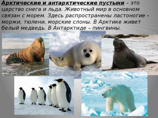 Арктические и антарктические пустыни – это царство снега и льда. Животный мир в основном связан с морем. Здесь распространены ластоногие - моржи, тюлени, морские слоны. В Арктике живет белый медведь. В Антарктиде – пингвины.