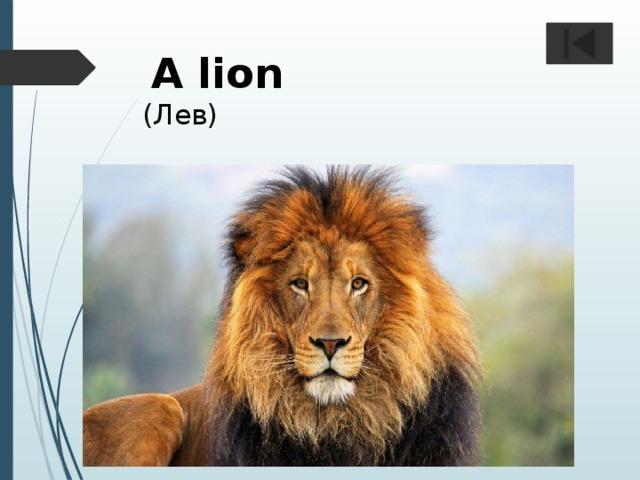 A lion  (Лев)