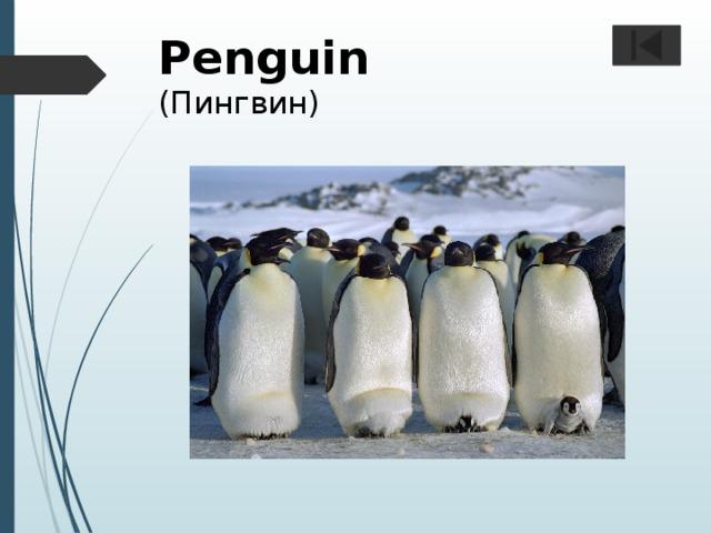 Penguin  (Пингвин)