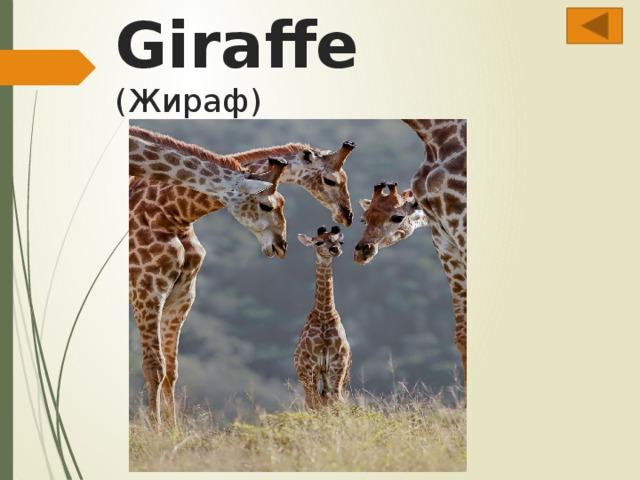 Giraffe  (Жираф)