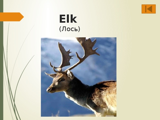 Elk  (Лось)