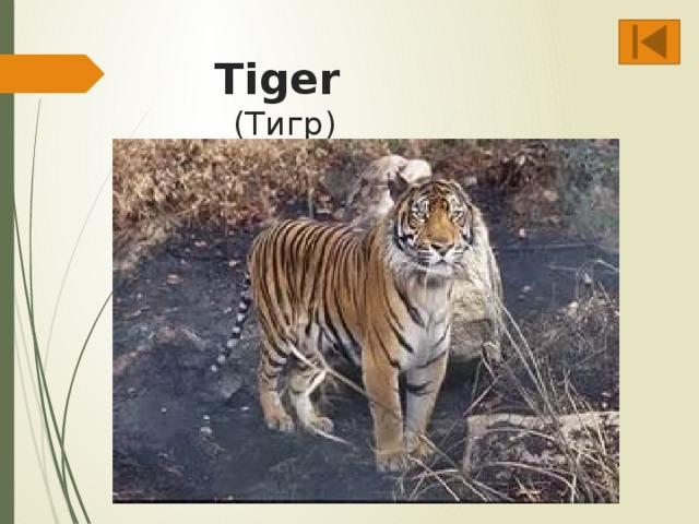 Tiger  (Тигр)