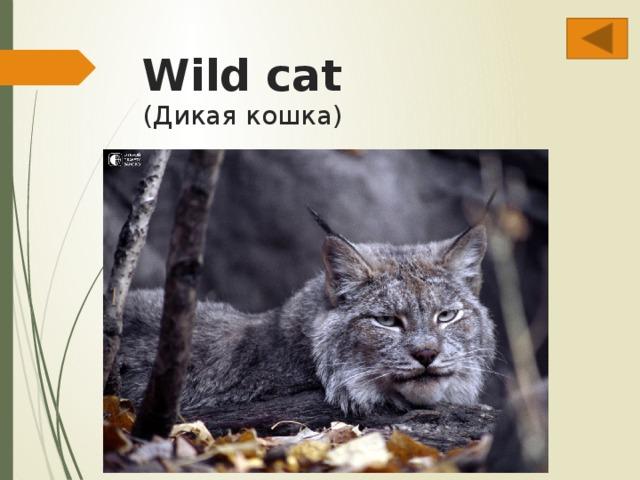 Wild cat  (Дикая кошка)