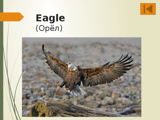 Eagle  (Орёл)