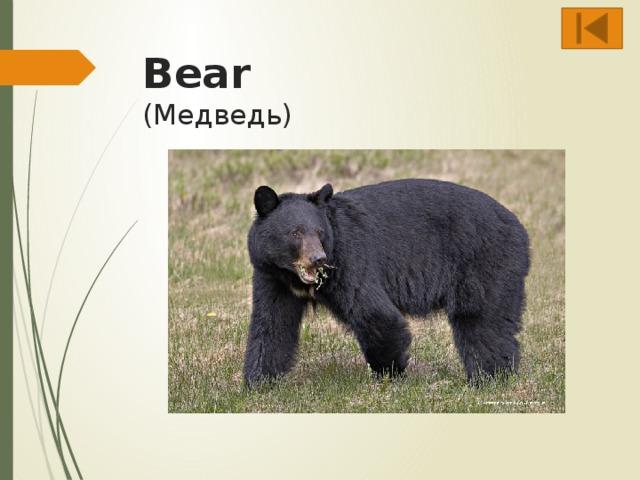 Bear  (Медведь)