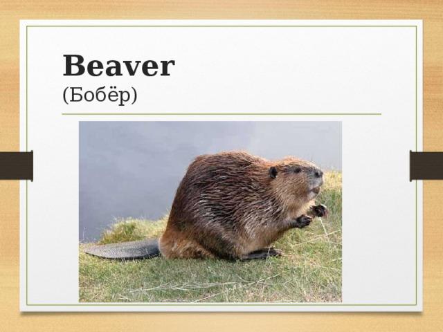 Beaver  (Бобёр)
