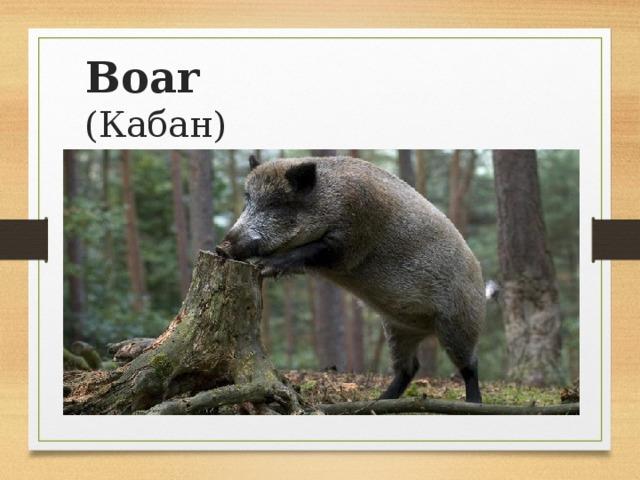 Boar  (Кабан)