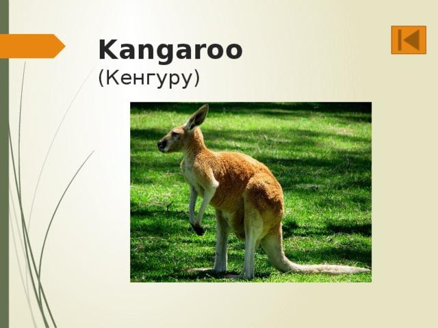 Kangaroo  (Кенгуру)