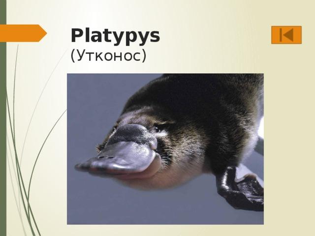 Platypys  (Утконос)