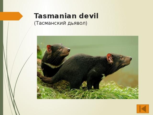 Tasmanian devil  (Тасманский дьявол)
