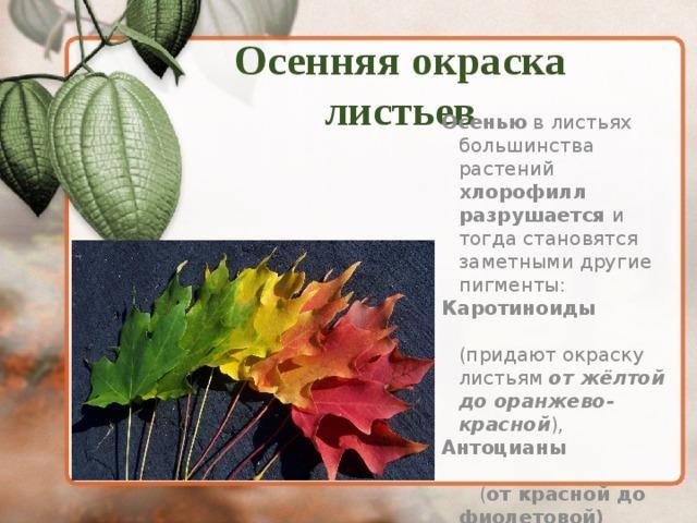 Осенняя окраска листьев  Осенью в листьях большинства растений хлорофилл разрушается и тогда становятся заметными другие пигменты: Каротиноиды (придают окраску листьям от жёлтой до оранжево-красной ), Антоцианы ( от красной до фиолетовой)