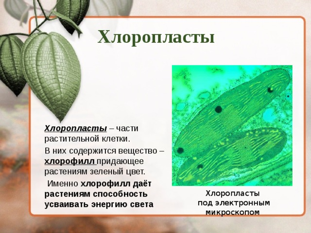 Хлоропласты Хлоропласты – части растительной клетки. В них содержится вещество – хлорофилл придающее растениям зеленый цвет.  Именно хлорофилл даёт растениям способность усваивать энергию света Хлоропласты  под электронным микроскопом