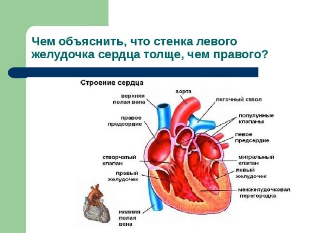 Чем объяснить, что стенка левого желудочка сердца толще, чем правого?