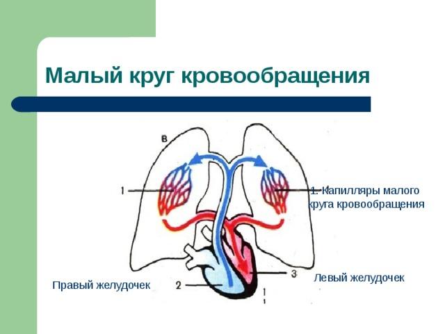 Малый круг кровообращения 1. Капилляры малого круга кровообращения Левый желудочек Правый желудочек