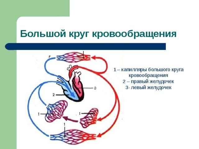 Большой круг кровообращения 1 – капилляры большого круга кровообращения 2 – правый желудочек 3- левый желудочек