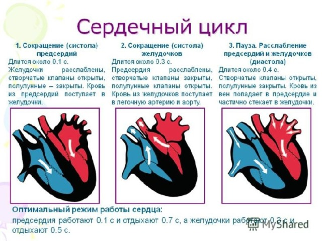 Фазы работы сердца