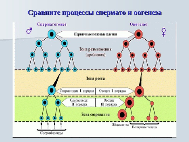 Сравните процессы спермато и оогенеза
