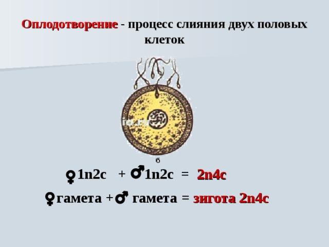 Оплодотворение - процесс слияния двух половых клеток   1 n 2с  +   1n 2с = 2n 4с     гамета +  гамета = зигота 2 n 4с