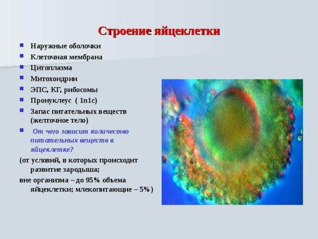 Строение яйцеклетки Наружные оболочки Клеточная мембрана Цитоплазма Митохондрии ЭПС, КГ, рибосомы Пронуклеус ( 1n1c) Запас питательных веществ ( желточное тело)  От чего зависит количество питательных веществ в яйцеклетке? (от условий, в которых происходит развитие зародыша; вне организма – до 95% объема яйцеклетки; млекопитающие – 5%)