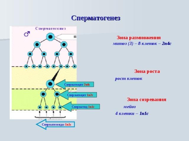Сперматогенез  Зона размножения  митоз (3) – 8 клеток – 2n4c     Зона роста  рост клеток    Зона созревания  мейоз  4 клетки – 1n1c    Сперматоцит 2n4c Сперматоцит 1n2c Сперматид 1n1c Сперматозоиды 1n1c