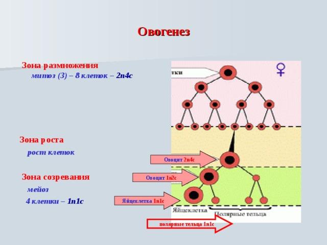 Овогенез   Зона размножения  митоз (3) – 8 клеток – 2n4c     Зона роста  рост клеток   Зона созревания  мейоз  4 клетки – 1n1c    Овоцит 2n4c Овоцит 1n2c Яйцеклетка 1n1c  полярные тельца 1n1c